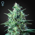 White Widow Auto CBD (Greenhouse Seeds) feminized