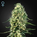 Super Silver Haze CBD (Greenhouse Seeds) feminized