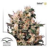 Euforia (Dutch Passion) feminized