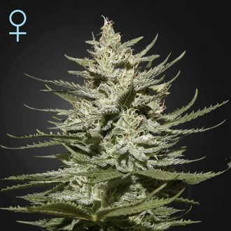 The Church CBD (Greenhouse Seeds) feminized