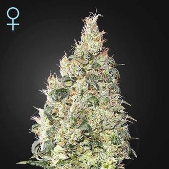 Great White Shark CBD (Greenhouse Seeds) feminized