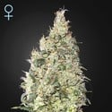 Great White Shark CBD (Greenhouse Seeds) feminized