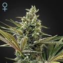 Super Lemon Haze Auto CBD (Greenhouse Seeds) feminized