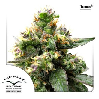 Trance (Dutch Passion) feminized