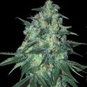 Jekyll Passion (Samsara Seeds) feminized