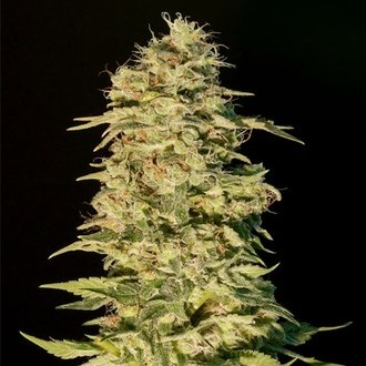 OG Lemon Bilbo (Genehtik Seeds) feminized