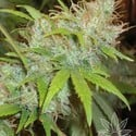 Orange Delight (Homegrown Fantaseeds) feminized