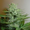 Blue Pearl (Homegrown Fantaseeds) feminized