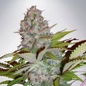 Auto Cheese NL (Ministry of Cannabis) feminized