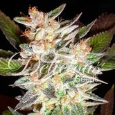 Delicious Candy Auto (Delicious Seeds) feminized