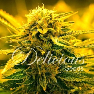 Sugar Black Rose Auto (Delicious Seeds) feminized