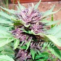 Auto Dark Purple (Delicious Seeds) feminized