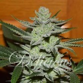 Desconocida Kush (Delicious Seeds) feminized