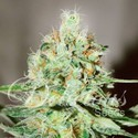 Jägg Kush (Delicious Seeds) feminized