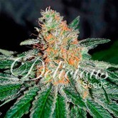 CBD Jam (Delicious Seeds) feminisiert