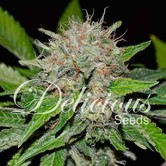 Deep Mandarin (Delicious Seeds) feminized