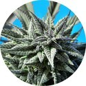 Auto Tao Blueberry (Top Tao Seeds) regular