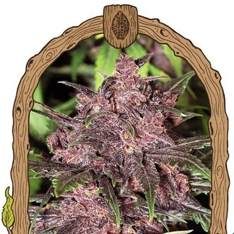 Black Haze (Exotic Seed) feminized