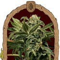 Russian Automatic (Exotic Seed) feminized