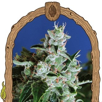 Sir Jack Auto (Exotic Seed) feminized