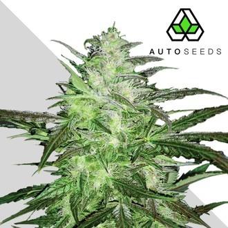 Auto Chemdog (Auto Seeds) Feminized