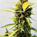 Critical 47 Express (Positronics) feminized