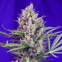 Cream Mandarine - F1 Fast Version (Sweet Seeds) feminized