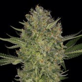 Serious Kush (Serious Seeds) feminized