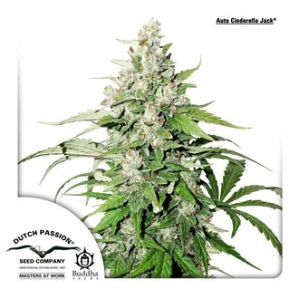 Auto Cinderella Jack (Dutch Passion) feminized