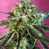 Sweet Nurse Auto CBD feminized (Sweet Seeds)