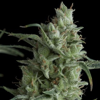 Auto Kryptonite (Pyramid Seeds) feminized