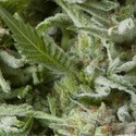 Auto Alpujarreña (Pyramid Seeds) feminized