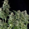 Northern Lights feminized (Pyramid Seeds)