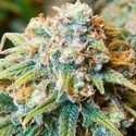 CBD Medi Kush (Spliff Seeds) feminized