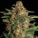CBD Spliff Berry (Spliff Seeds) feminized