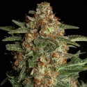 Purple Berry Kush (Spliff Seeds) feminized