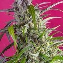 Crystal Candy Auto (Sweet Seeds) feminized