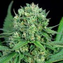 Cheese CBD (Dinafem) feminized