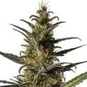 Candida (CD-1) (Medical Marijuana Genetics) feminisiert