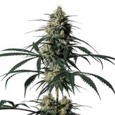 Hiydrow (HY-1) (Medical Marijuana Genetics) feminized