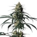 Hiydrow (HY-1) (Medical Marijuana Genetics) feminized