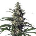 Green Doctor (GD-1) (Medical Marijuana Genetics) feminized