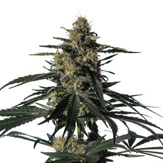 Nightingale (NN-1) (Medical Marijuana Genetics) feminized
