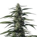 Txaki (TX-1) (Medical Marijuana Genetics) feminized