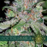 Doctor Jamaica (Vision Seeds) feminized