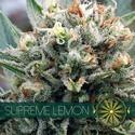 Supreme Lemon (Vision Seeds) feminized