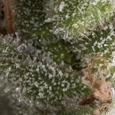 Auto Fresh Candy (Pyramid Seeds) feminized