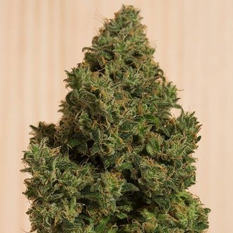 Blue Dream CBD (Humboldt Seeds) feminized