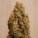 Green Crack CBD (Humboldt Seeds) feminized