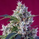 Indigo Berry Kush (Sweet Seeds) feminized